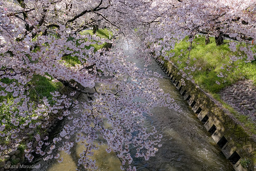 五条川桜並木 / Gojo River cherry trees
