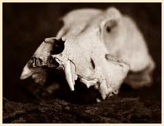 Still Life (N.the.Kudzu) Tags: tabletop stilllife skull canondslr meike 85mmf28 macro lens ringlight photoscape bw sepia frame home