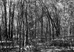 Trees in black and white 2679 (Tangled Bank) Tags: san felasco state forest alachua county florida wild nature natural trail outdoors hiking plant flora botany