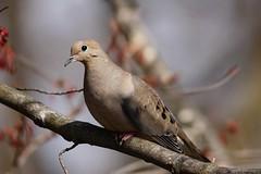 Beautiful Mourning Dove (Anne Ahearne) Tags: wild bird animal nature wildlife prettybird dove songbird birdwatching mourningdove