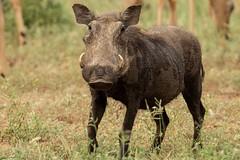 IMG_7025 (Rorals) Tags: warthog safari africa southafrica kruger wildlife animal mammal nature pig