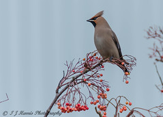 Waxwing (ian._harris) Tags: waxwing nikon d7200 nature hertford bird berry sigma 500mmf45 wilde wildlife naturephotography natur life flickr outside naturaleza