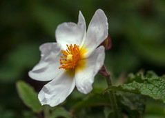 Rock Rose (San Francisco Gal) Tags: cistus rockrose flower fleur bloom blossom macro bokeh sanfrancisco garden ngc