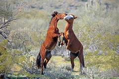 Salt River Arizona wild horses (littlebiddle) Tags: horse equine mammal animal wildlife nature arizona saltriver