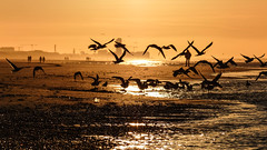 Seagulls intothesun (Drummerdelight) Tags: sunset beach dehaan intothesun sun setting shillouettes