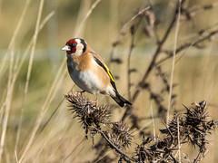 Goldfinch (Maria-H) Tags: goldfinch cardueliscarduelis glossop derbyshire highpeak uk olympus omdem1markii panasonic 100400