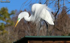 When your hair is combed from right to left but the wind is blowing left to right (Shannon Rose O'Shea) Tags: shannonroseoshea shannonosheawildlifephotography shannonoshea shannon greategret egret bird beak yelloweye skinnylegs roof bokeh bluesky trees leaves white feathers wings breedingplumage plumage plumes lores outdoors outdoor outside colorful colourful alligatorbreedingmarshandwadingbirdrookery gatorland orlando florida gatorlandbirdrookery rookery tinroof windy breezy flickr wwwflickrcomphotosshannonroseoshea smugmug nature wildlife waterfowl art photo photography photograph wild wildlifephotography wildlifephotographer wildlifephotograph birdphotographer naturephotographer femalephotographer girlphotographer womanphotographer shootlikeagirl shootwithacamera throughherlens camera canon canoneos80d canon80d canon100400mm14556lisiiusm eos80d eos 80d canon80d100400mmusmii 2019 ardeaalba branches