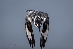 Pied Kingfisher (larslaguna) Tags: fåglar kingfisher gråfiskare gambia fishing piedkingfisher fågel cerylerudis