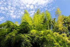 Canopy (fredo f) Tags: canopée canopy forest forêt arbre tree ciel sky nuage cloud bambou bamboo italia italie lacdecôme cômelake jardinbotanique botanicgarden villacarlotta jardin garden lombardie lombardia tremezzo
