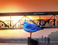 Irvine Bridge and Gull1 (g crawford) Tags: irvine harbour ayrshire northayrshire crawford harbor sunset sundown sea bridge bigidea gull blackheaded seagull
