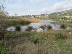 Legacy Park, Malibu, CA IMG_3399 (Hart Walter) Tags: malibulagoon legacypark royaltern brownpelican grayplover marbledgodwin