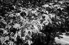 Leaves, imperfect focus (Matthew Paul Argall) Tags: canonsnappy20 kentmere100 100isofilm 35mmfilm blackandwhite blackandwhitefilm leaves fixedfocus