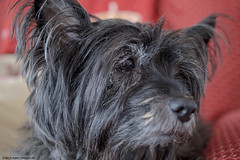 2019.02.20.6436 Little Miss Muddy Muzzle (Brunswick Forge) Tags: 2019 virginia dog dogs doggy doggies puppy puppies terrier terriers cairn cairnterrier terrierist winter nikond500 botetourtcounty house home pet pets animal animals animalportraits earthdogs brunie brunhilde muzzie missmuzz littlebits grouped favorited commented