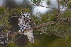 Owl (JirikD) Tags: 2019 nikond850 animal sova owl birds ptáci nikon20050056 les forest zvíře