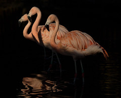 pink elegance (chtimageur) Tags: flamengo rose light dark shadow contrast birds nature canon 6d mark ii 135 f20