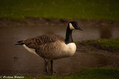 Canada Goose (Graham Bowley) Tags: spring riverthames berkshire waterfowl reading birds goose wildlife afternoon