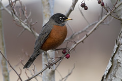 American Robin (featherweight2009) Tags: americanrobin turdusmigratorius robins thrushes songbirds birds