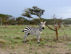 Lake Naivasha Crescent Island Game Sanctuary Plains Zebra (Equus quagga, formerly Equus burchellii, or Burchell's zebra) (11) (Bruce Allardice) Tags: kenya lakenaivasha crescentislandgamesanctuary lake naivasha plainszebra zebra equusquagga equusburchellii burchellszebra