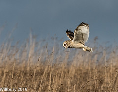 Short eared owl (Willbury not about much.) Tags: sigma short eared owl outdoor cotswolds nikon d500 hunting hovering field willbury water vole beautiful birds