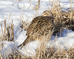 Ring-necked Pheasant - Cass county, IL (emace) Tags: ringneckedpheasant nature animal wildlife bird grouse perched ground winter sitem jimedgarpanthercreekfishandwildlifearea casscounty centralillinois snow female hen