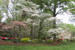 Spring in a SC neighborhood- (snow41) Tags: yard spring azaleas dogwoods lawn rockhillsc trees bushes