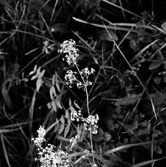 Galium mollugo L. Wiesen-Labkraut hedge bedstraw (Spiranthes2013) Tags: galiummollugol wiesenlabkraut hedgebedstraw galium galiummollugo labkraut bedstraw deutschland germany becker bayern bavaria unterfranken lowerfranconia lkmiltenberg 1991 kfwolfstetter scan diaarchiv diascan pflanze plant pflanzendias nature natur wiese meadow angiospermen angiosperms eudicots eudicosiden asteriden asterids gentianales rubiaceae euasteriden euasterids enzianartige rötegewächse labkräuter feucht wet 6x6 6x6dias