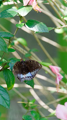 2019-02-11_12-45-42_ILCE-6500_DSC02821_DxO (Miguel Discart (Photos Vrac)) Tags: 2019 202mm animal animalphotography animals animalsupclose animaux butterfly chiangmai createdbydxo dxo e18135mmf3556oss editedphoto fleurs flowers focallength202mm focallengthin35mmformat202mm holiday ilce6500 iso800 nature naturephotography papillon pet sony sonyilce6500 sonyilce6500e18135mmf3556oss thailand thailande travel vacances voyage