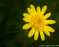 20190312Good Morning 23269-Edit (Laurie2123) Tags: laurieabbotthartphotography laurieturner laurieturnerphotography laurie2123 nikkor105mm nikond800e backyard flower yellow
