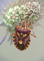 Carpocoris sp. (?) (SaZiRi) Tags: stink bug insect macro fz1000 raynox dcr150 carpocoris hemiptera panasonic animal insetto cimice nature pentatomidae