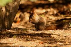Squirrel (ja.zogy) Tags: squirrel animals park moment canon