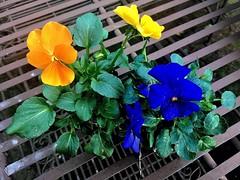 #HappyWeekendAll (RenateEurope) Tags: 2019 renateeurope iphoneography nature nrw rheinland germany gardens pflanzzeit viola stiefmütterchen frühling spring primavera