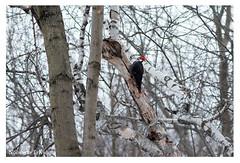 Grand pic (Nolwenn Trvdc) Tags: foret montroyal nature wild canada montréal bird oiseau dryocopus pileatus