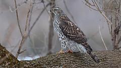 Autour des palombes_070A5313v2 (d.jauvin) Tags: épervier autour québec autourdespalombes northerngoshawk accipitergentilis