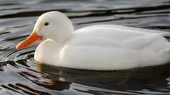 a White Duck in sunset light (Franck Zumella) Tags: white duck canard blanc bird oiseau nature animal wildlife lake lac water eau orange sunset coucher soleil sun color couleur reflection reflexion cute mignon golden hour toy winter hiver alone seul lonely unique night nuit light lumiere mirror miroir