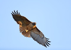 Red tail with a rodent (charlescpan) Tags: