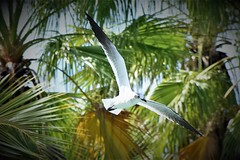 Sea Gull (adamsdale616) Tags: beauty nature outdoor dusk autumn golden waterfront pond sky light new usa spring midwest colorful landscape nikon detail outside beautiful digital focus d7200 tree color plant flower animals wildlife birds wings animal flying paradise nassau bahamas