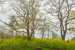 _J5K6025.0313.Sapa.Lào Cai (hoanglongphoto) Tags: asia asian vietnam northvietnam northernvietnam northwestvietnam landscape scenery nature vietnamlandscape vietnamscenery sapalandscape natureinsapa flower trees sky canon canoneos1dsmarkiii tâybắc làocai sapa cây thiênnhiênsapa hoa hoacảivàng bầutrời canonef35mmf14lusm