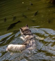 Dog and fish (raymond_zoller) Tags: canonef70200mmf28lusm canoneos6dmarkii fisch hund lightroom chien dog eau fish poisson wasser water woda вода пес рыба собака