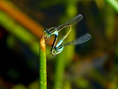 Damselfly Pair (WRFred) Tags: damselfly florida nature wildlife insect