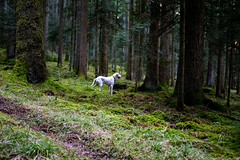 P1080501-2 (mireiatarres) Tags: pointer forest wald green bosque nature natura perro dog hund