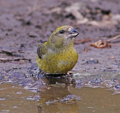 Crossbill female (Gary Chalker, Thanks for over 4,000,000. views) Tags: crossbill finch bird pentax pentaxk3ii k3ii pentaxfa600mmf4edif fa600mmf4edif fa600mm 600mm female