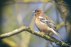 Common Chaffinch (Male) (Fringilla coelebs) (PhasmatosOculus) Tags: april 2019 april2019 bird birds rivernene barnwellcountrypark barnwellpark barnwell country park northamptonshire wildlifeanimal wildlife animal animals wildlifeanimals matthewfarrugia matthew farrugia centricmalteser canon6dmkii canon 6d mkii eos6dmkii canoneos6dmkii eos canoneos eastanglia 6dmkii phasmatosoculus commonchaffinch fringillacoelebs