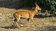 Botswana Impala? (h0n3yb33z) Tags: botswana animals wildlife chobenationalpark impala antelope africa