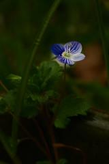 Fleur bleue - 104/365