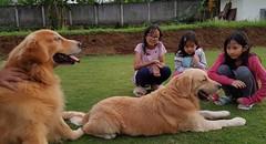 Bersama Merlin dan Igor (noor.hilmi) Tags: kids faizah kirana kalista merlin igor dog goldenretriever anjing