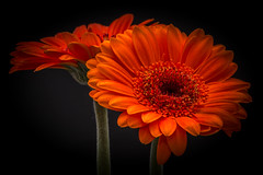 In the spotlight (pearl.winch) Tags: 9thfebruary2018 flash macro inthespotlight 8988 february2018archive gerbera orange coth coth5
