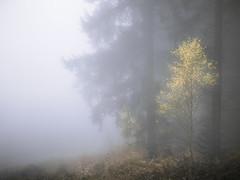 Goldie coloured tree (Rob Scamp) Tags: silverbirches birch birches woods woodland forest morning mist misty bircher birchercommon nationaltrust naturallight availablelight robscamp nikon df
