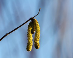 Sunnyside (Paul Bagshaw ---- UK) Tags: shadow detail yellow nature forest woods branch catkins winter sun tree hazel