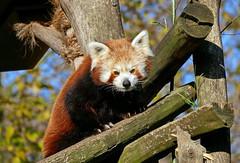 Roter Panda (Rolf Piepenbring) Tags: ailurusfulgens panda roterpanda zoomerlebniswelt gelsenkirchen