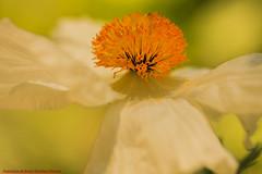 ROMNEYA AMAPOLA BLANCA MACROFOTOGRAFÍA-REAL JARDÍN BOTÁNICO DE MADRID-Madrid (FRANCISCO DE BORJA SÁNCHEZ OSSORIO) Tags: romneya madrid mariposa macro macrofotografia españa exposure enfoque encuadre exposicion flechazo focuspoint focus foco flor flower flores flowers foto funny framing love light luz life lovely spring summer shot verano vida passion photo pasión primavera realjardínbotánicodemadrid realjardínbotanico bokeh belleza beauty butterfly bumblebee bee nature naturaleza nice narciso color colour composition composición colourtemperature timeexposure tiempodeexposición temperaturadecolor detalles detalle detail details desenfoque disparo delicado delicate divertido dof depthoffield dahlia stamen stamens